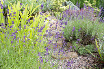 Garden Path with English Lavender Flowers