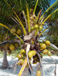 Постер, плакат: A view of the coconuts hanging on the palm tree
