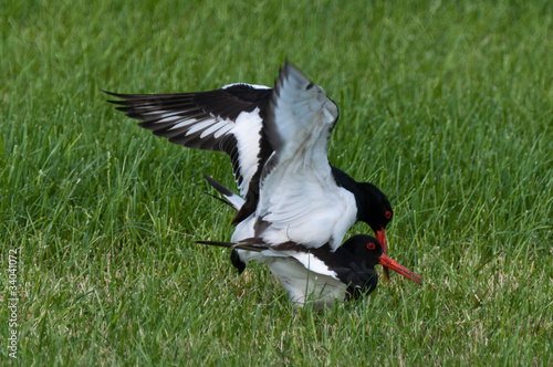 Mating ritual of two oystercatchers in grassland