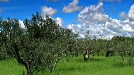 Olive_tress_1
