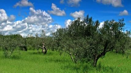Olive_tress_3