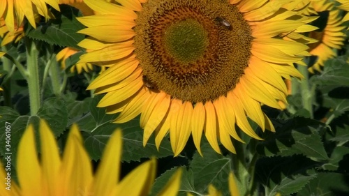 Girasole cone ape-Sunflower with bee