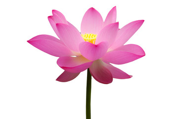 lotus flower with white background