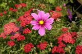 Mauve Cosmos among red Achillea