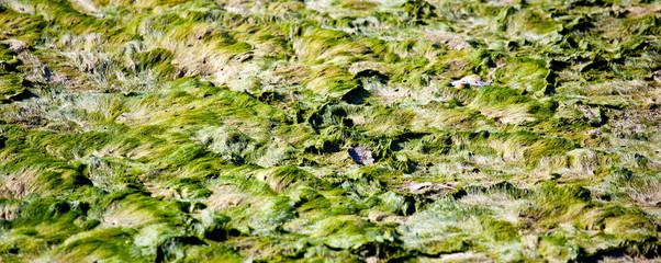 Alghe, laguna di Grado