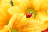 Fototapety ladybug on yellow flower