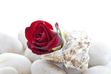 Rose Bud in Seashell