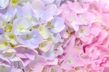 Fototapety Beautiful Purple and Pink Hydrangea Flowers Close-up