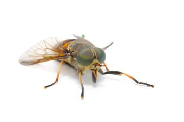 Botfly Close-up Isolated on White Background