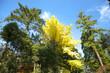 常緑樹に囲まれた銀杏の黄葉