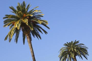 ハリウッドのヤシの木