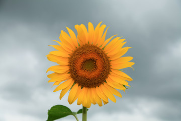 Sunflower that blooms in cloudy skies