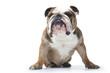 bulldog peu aimable de face