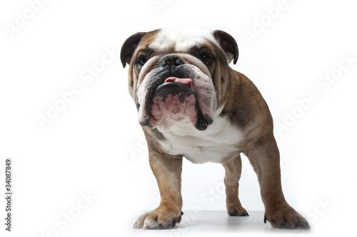 portrait de face du bulldog anglais