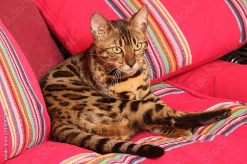 chat du bengal dans le canap aux couleurs vives photo libre de droits sur la banque d 39 images. Black Bedroom Furniture Sets. Home Design Ideas