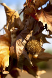 Chestnut Bur with Yellow Leaves on a Branch poster