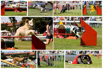 collage di cani in agility