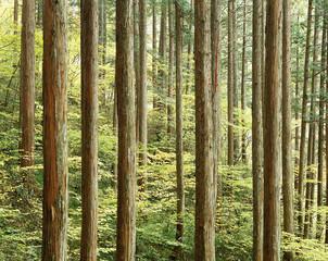 秋の木曽ヒノキ林