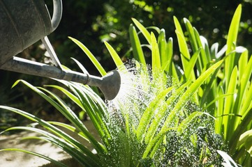 Close-up of a watering can watering plants in a garden