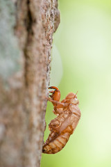 close up view of an empty cicada shell on a tree