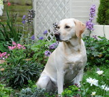 labrador amongst the flowers