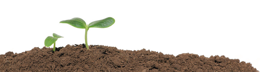 Small cucumber seedling
