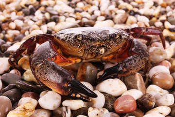 Crab isolated on pebbles background