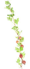 Gooseberry stem isolated on white background