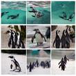 collage di pinguini africani