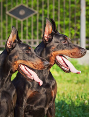 couple of amazing black doberman
