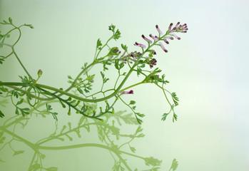 Heilpflanze, Arzneipflanze, Erdrauch  (Fumaria officinalis)