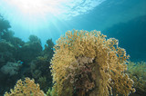 Underwater coral reef scene with fire coral poster
