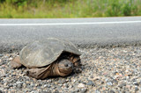 Large common snapping turtle at side of road