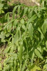 pianta valeriana