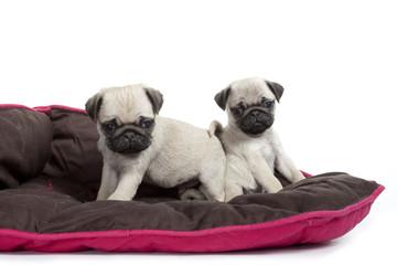 deux chiots mignons sur leur tapis