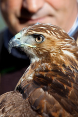 Eagle of red tail (Buteo jamaicensis) and falconer