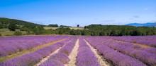 plateau d'albion et ses champs de lavande