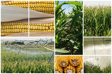 El cultivo del maíz.
