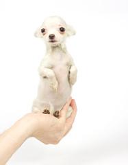 Chihuahua small puppy