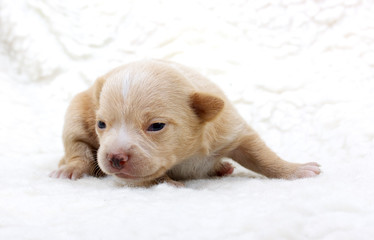 Chihuahua puppy  on white