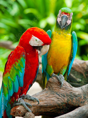 Fototapety, obrazy : colorful couple macaw sitting in a tree