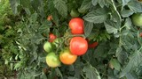 Grappolo di pomodori pachini-cluster of cherry tomatoes