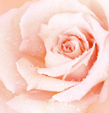 Fototapety Pink wet rose background