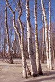 early spring in birch forest
