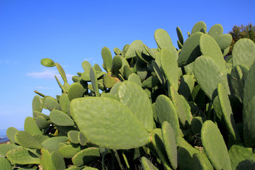 chumbera nopal cactus plant blue sky