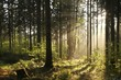 Misty coniferous forest backlit by the morning sun