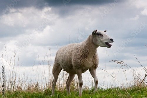 A bleating sheep against a heavy cloudy sky