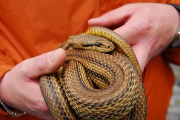 Serpenti di Cocullo