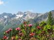 Alpenrosen und Fichte