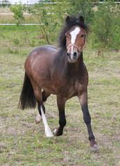 trabendes Pony